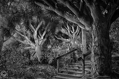 The Dragon Trees (FotoGrazio) Tags: california park trees blackandwhite tree nature gardens garden print botanical dragon sandiego framed branches wayne fine tropical limbs encinitas grazio dragontrees fotograzio
