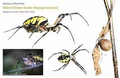 Yellow garden Spider (Argiope aurantia) (DaveHuth) Tags: composite spider wasp eating arachnid prey whitebox arthropod myn argiopeaurantia yellowgardenspider ootheca
