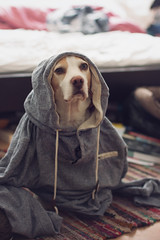 Dog with a Hoodie (mirjamherms) Tags: dog beagle hoodie
