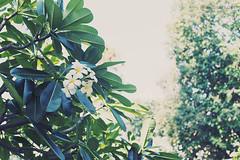 Loving Nature: Araliya beauty (faithieimages.com) Tags: travel tree plumeria australia wanderlust pacificocean southpacific qld queensland frangipani destination surfersparadise goldcoast oceania southernhemisphere araliya faithie faithieimages faithieimagescom