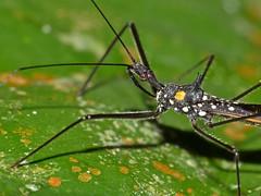 Assassin Bug (Reduviidae) close-up (berniedup) Tags: sarawak malaysia mulu reduviidae taxonomy:family=reduviidae