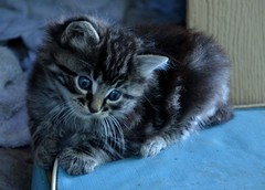Kitten (Adventurer Dustin Holmes) Tags: pet pets animal animals cat kitten feline domesticcat 2014 domesticatedcat