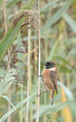 Female Stonechat (Osgoldcross Photography) Tags: autumn bird female reeds wings nikon chat raw legs feeding head feathers perch species perched grip claws thrush plumage resident rspb saxicolatorquata stonechat femalestonechat rspboldmoor thrushesandchats nikond7100