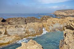 Point Lobos State Reserve CA IMG_4214 (Hart Walter) Tags: bigsur californiacoast turkeyvulture californiacondor pointlobosstatereserve pfeifferbigsurstatepark piedrasblancaselephantsealreserve elephanmtseal pampasgrassinvasion