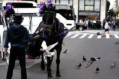 Equus Afraidus (KiGos) Tags: street nyc urban horse usa newyork bird animal purple centralpark manhattan pigeon streetphotography