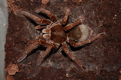 """own cb 0.1 Theraphosa stirmi subadult 3 • <a style=""""font-size:0.8em;"""" href=""""http://www.flickr.com/photos/77637771@N06/15389011319/"""" target=""""_blank"""">View on Flickr</a>"""