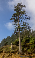 2014-10-11 Oregon Ecola State Park Indian Beach Shore Pine (Michael Schmidt Photography Vancouver) Tags: blue orange cliff brown white black tree green yellow grey beige beaches pictureperfect ecolastatepark geolocation oldgrowthforest indianbeach hikingtrails lewisandclarknationalandstatehistoricalparks geocity exif:make=sony geocountry camera:make=sony geostate exif:aperture=32 exif:model=slta77v camera:model=slta77v exif:lens=dt1650mmf28ssm michaelschmidtphotographyvancouverbc wwwmichaelschmidtphotographycom httpwwwflickrcomphotosdmichaelschmidtsets exif:isospeed=50 exif:focallength=16mm dmschmidtshawca httpswwwfacebookcommsphotographyvancouver httpswwwthisiswhatiseeca michaelmspixca httpsplusgooglecomb115575222591610367933115575222591610367933posts httpstwittercommspixvancouver corpsofdiscoverys1806trek geo:lat=45931221666667 geo:lon=12397883166667