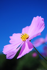 Have a good day! (masayan523) Tags: pink blue autumn plant flower macro japan landscape landscapes nikon bluesky     cosmos      d90  fineweather macrofilter clearweather