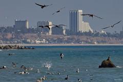 Brown Pelicans, Gulls and Terns, Santa Monica Bay CA S CQ4A1548 (Hart Walter) Tags: brownpelican malibulagoon marbledgodwit earedgrebe santamonicabay pelicanfeedingfrenzy