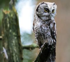 Raufußkauz (vil.sandi) Tags: wild bird forest borealowl eule aegoliusfunereus raufuskauz