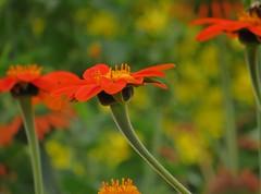 Flowers of Flamenco (Dazzygidds) Tags: orange green posed stems nationaltrust flamenco warwickshire zest scintillation beautifulgarden yellowbokeh coughtoncourtgardens