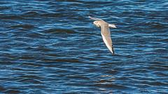 Bonaparte's gull (Larus philadelphia) (ER Post) Tags: bird gulls bonapartesgulllarusphiladelphia