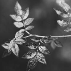 Dog rose (manuel ek) Tags: macro nature closeup lens 50mm prime leaf bush fuji sweden nikkor malm nypon dogrose lv buske xt1 nyponbuske manuelekphoto