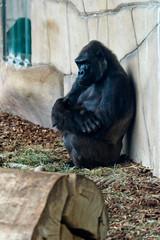 Safari 1 - 14 Je pense (Barthmich) Tags: france animal zoo monkey nikon gorilla think ape 70300mm tamron primate pensée 動物 anthropomorphism フランス singe lightroom 動物園 idée gorille 猿 penser beauval 思考 ゴリラ 考え anthropomorphisme 考える raisonnement d3100