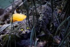 Divlja mačka (Wildcat)