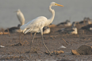 golden hour Great Egret, Satpura Tiger Reserve, India