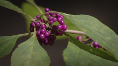 dingle berries (Mr. Greenjeans) Tags: autumn fall nature louisiana berries seeds americanbeautyberry
