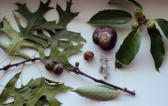 beautiful gifts (Shirrstone Shelter dolls) Tags: trip vacation plant tree green nature oak nuts gifts chestnut 2014