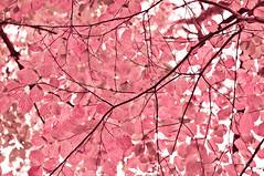 秋梦 Dreaming in Fall (幻影留梦) Tags: wood autumn dog color tree fall leaf sony canyon dogwood alpha 睡 cloudland 梦 秋叶 醒 a580 秋梦 狗木
