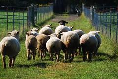 Bye bye sheep (Shepherd's Corner Ecology Center) Tags: county columbus ohio ecology sisters corner garden franklin dominican peace sheep farm llama center lamb oh organic opp shepherds blacklick