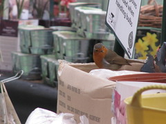IMG_6931 (wallygrom) Tags: england bird robin westsussex angmering manornursery manornurseries