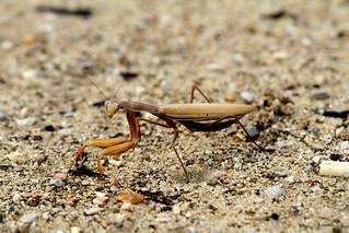 Mantis god