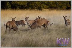 IMG_0951.jpg (kishwphotos) Tags: nature stag wildlife deer mammals reddeer richmondpark deerrut
