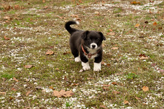 _DSC3080 (Simply Angle) Tags: autumn dog pet fall leaves animal puppy sony leafs 50mmf18 canonfd50mmf18 borgie nex3 fdnex nexfd