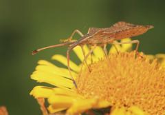 Rhombic Leatherbug - Syromastus rhombeus (Prank F) Tags: macro nature closeup bug insect wildlife peterborough rhombic leatherbug kingsdyke syromastusrhombeus wittlesey cambsuk kdnr