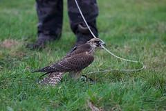 Peregrine (Jigsaw-Photography-UK) Tags: bird falcon prey peregrine