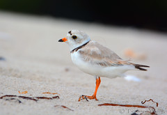 Piping Plover (endangered) (av8s) Tags: nature birds photography newjersey nikon wildlife nj sigma barnegat barnegatlighthousestatepark plover pipingplover barnegatbay d7100 120400mm