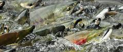 Where Are We? (Fish as art) Tags: salmon rivers pacificnorthwest migration sockeye alaskasalmon saumon redsalmon strangeanimals pacificsalmon salmonrivers salmonmigration britishcolumbiasalmon salmonconservation paulvecseiphotography fishasart whenfishwalk