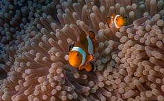 DSC05578.jpg (Vaajis) Tags: asia underwater diving malaysia borneo mabul seaanemone falseclownanemonefish