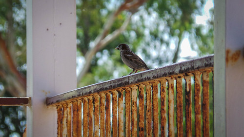 Queensland Sparrow