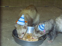 Birthday treats! (Reid Park Zoo) Tags: birthday november simon ferret ivan 2014 enrichment novem