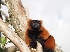 (Unvoyageur) Tags: animals lemur animaux herbivores mammals madagascar vari ruffedlemur lemurien varecia variroux lé́muràcrinière mammifè̀res