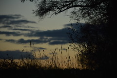 Silhouette (Leela Channer) Tags: blue trees light sunset orange plants black france nature up grass yellow night clouds dark evening twilight close fuzzy dusk cream silhouettes seeds heads late grasses seedheads grassseeds