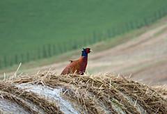 Pheasant (laura.piepad) Tags: lumix scotland aberdeenshire pheasant farmland haybales ruralaberdeenshire november2014 aberdeenshirewildlife