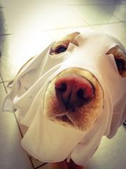 (Juhgodoi pictures) Tags: dog pet cute love beagle halloween animal costume hanna sweet hannah ghots