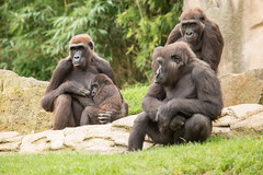 2014-09-19-12h09m46.BL7R8154 (A.J. Haverkamp) Tags: germany zoo gorilla hannover mali dierentuin mayumi westelijkelaaglandgorilla kibara canonef100400mmf4556lisusmlens httpwwwzoohannoverde pobhannovergermany dob26112007 melima dob26031996 dob11042012