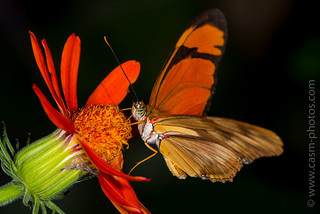 Flame or Flambeau Butterfly. Commonly known as the Iulia