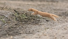 Jumping Weasel (KHR Images) Tags: wild nature mammal jumping nikon wildlife running weasel nationaltrust fen cambridgeshire leaping mustelid burwell mustelidae mustela d7100 8004000mmf4556 kevinrobson khrimages