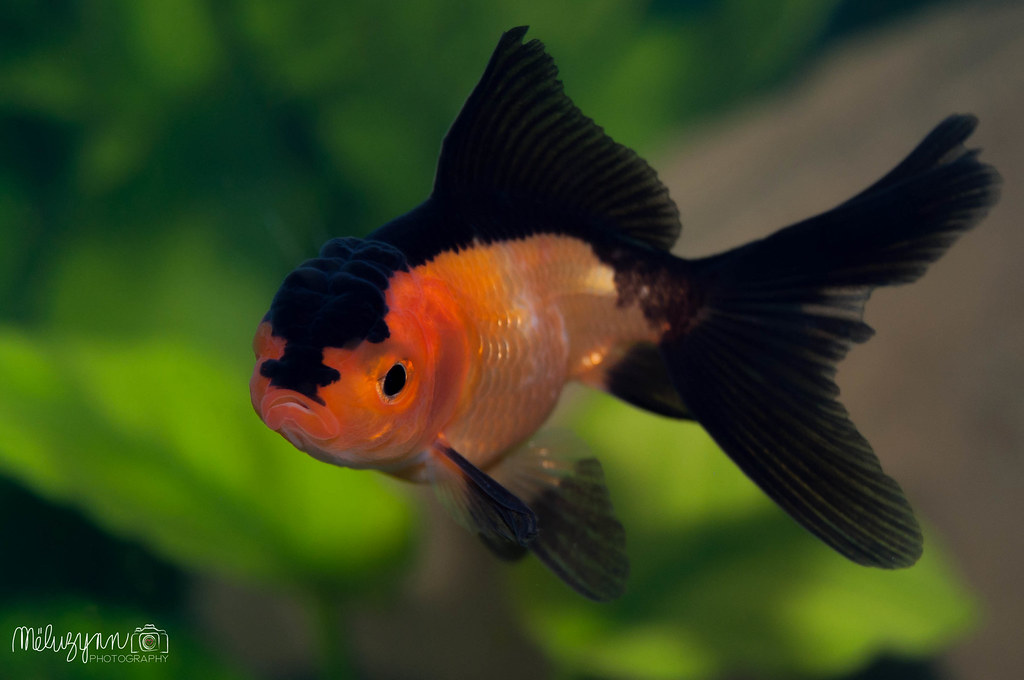 The world 39 s best photos of freshwater and oranda flickr for Nourriture poisson rouge voile de chine