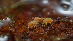 Sminthurides penicillifer (Kugelspringer) Collembola (AchimOWL) Tags: macro nature animals insect tiere natur makro insekt springtail springschwanz collembola raynox gx7 kugelspringer