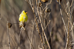 _MG_0778.jpg (pknight45) Tags: birds places americangoldfinch bakerwetlands