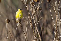 _MG_0778.jpg (pknight45) Tags: birds places americangoldfinch bakerwetlands
