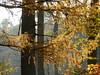 Larch - Lariks (joeke pieters) Tags: autumn holland tree fall netherlands herfst nederland boom larch achterhoek winterswijk gelderland lariks bekendelle woold panasonicdmcfz150 1190126
