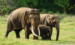 Majestic Family (Sadeepa Gunawardana) Tags: park elephant nature wildlife sri lanka national elusive majestic mammals tusker minneriya gunawardana sadeepa tuksers