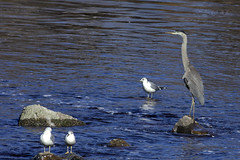 A Great Blue Heron with seagulls (Natimages) Tags: heron water birds gulls qubec greatblueheron waterbirds stlawrenceriver rivireduloup