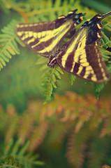Butterfly ferns (Throughtheeyesofafairy) Tags: macro butterfly ferns monarchbutterfly